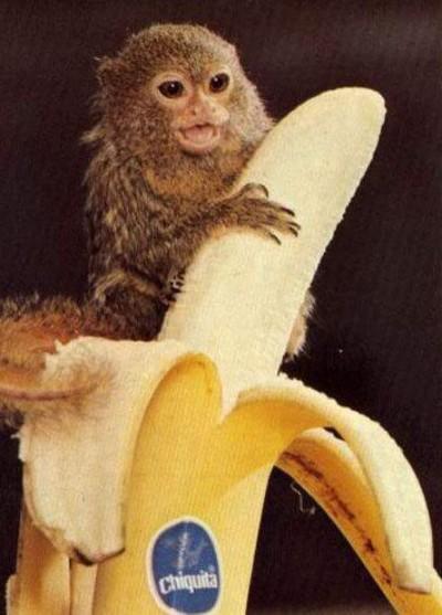 cute Pygmy Marmoset