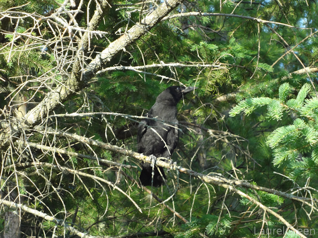 a photograph of a crow in a tree