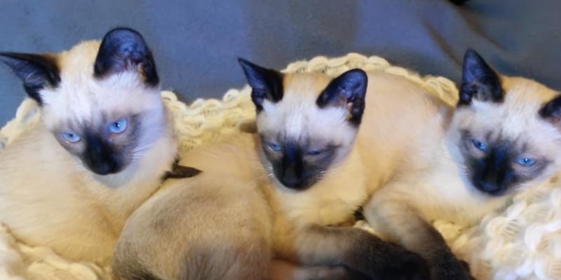 Gatos Siameses Comportamento