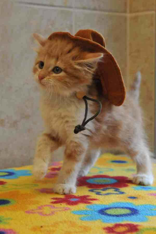 Image result for cat cowboy hats