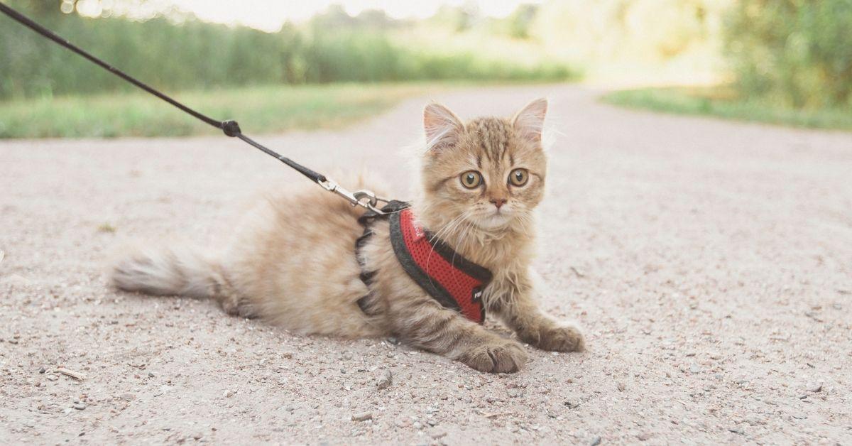 train cat walk leash