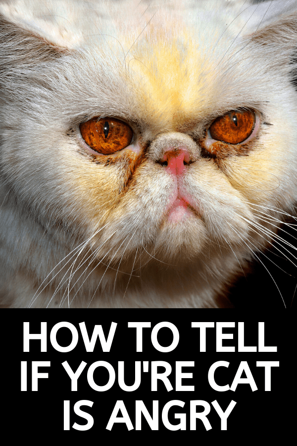signs your cat is angry