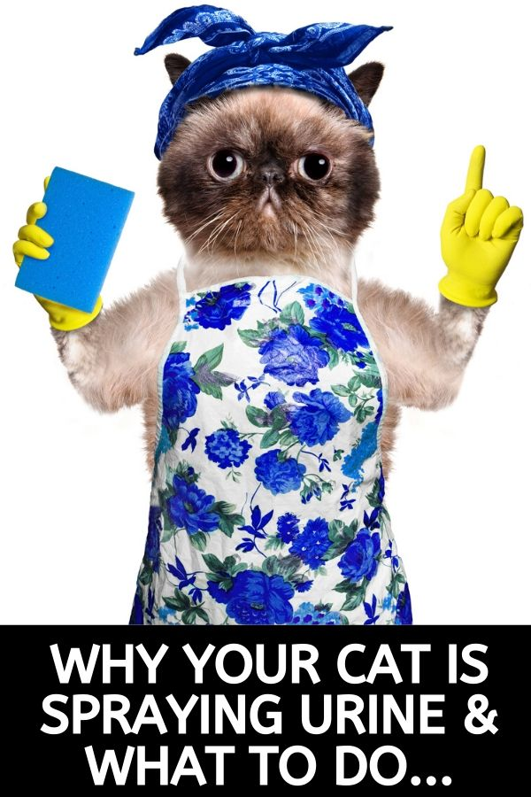 why cat spraying pee and urine