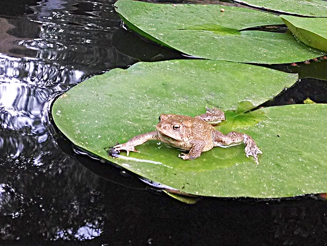 Frog Resting On Lily Pad In Koi Pond