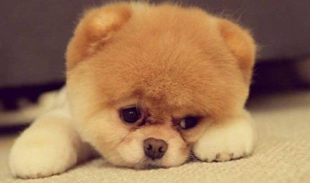 A pomeranium puppy peed on the carpet and is very sad about it
