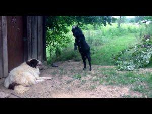 Crazy Goat Annoying Dog