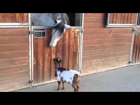 Bibi the Goat Plays with Her Horse Friend