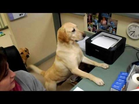 Smart Labrador Dog Gives Receipt