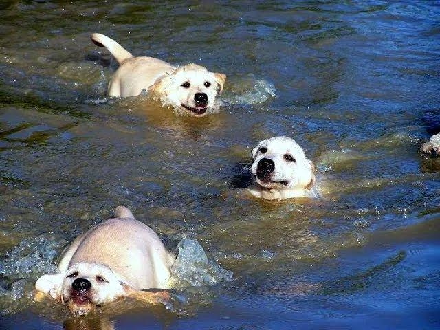 (VIDEO) Labrador Father Teaches Puppies To Swim