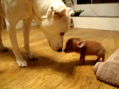 (VIDEO) Possibly the Smallest Pet Pig in the World
