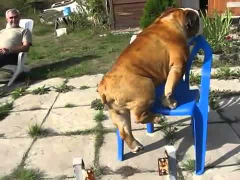Did That Bulldog Just Do A Pull-up?