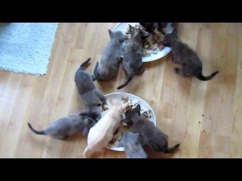 Burmese Kittens Eating and Talking Yum Yum Yum