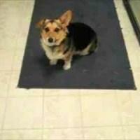Cute Corgi Dog Likes The Beatles