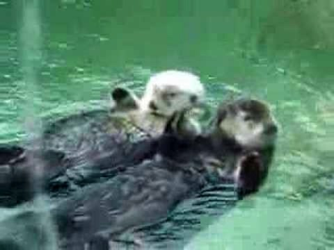 Cute Otters Holding Hands video