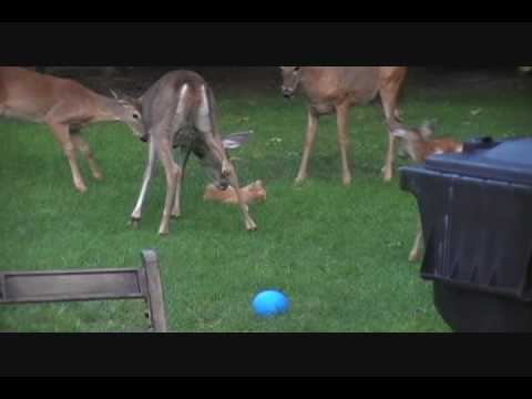 Deer Licking Cat