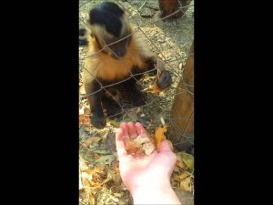 Monkey Teaches Human How to Crush Leaves video