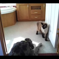 Cat Sneaking Past A Great Dane