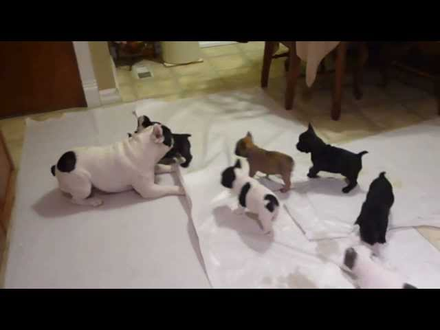 French Bulldog Playing With His Puppies