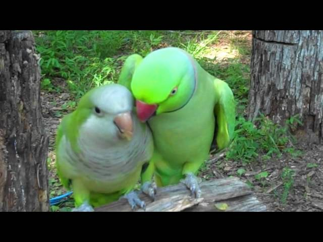 JoJo the Indian Ringneck and Buddy the Quaker Parrot