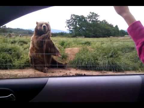 (VIDEO) Polite Bear Waves Hello