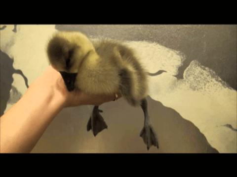 (VIDEO) Sleepy Gosling - The Translation
