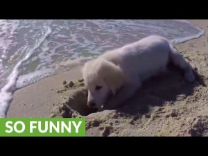 (VIDEO) Puppy furious after ocean water destroys his sandcastle