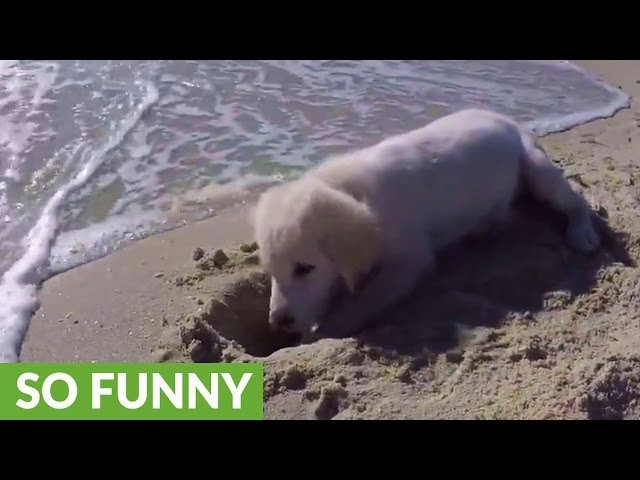 Puppy furious after ocean water destroys his sandcastle