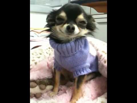 Smiley Bebe aka The Smiling Chihuahua