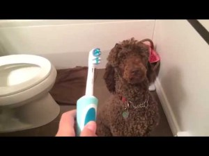 Poodle vs. Toothbrush
