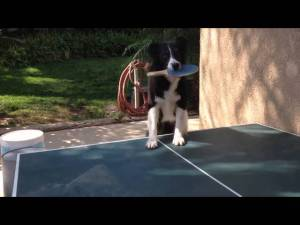 (VIDEO) Dog Plays Ping Pong