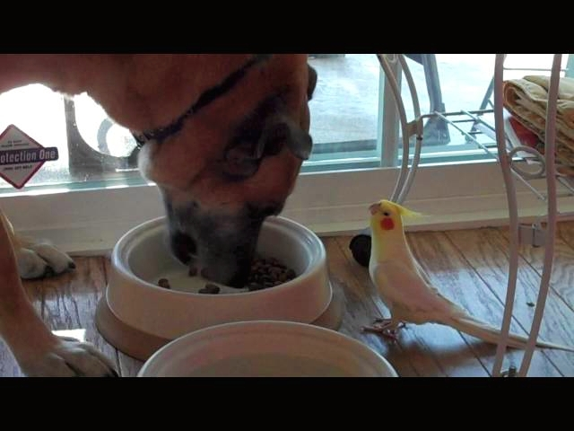 Bird Serenades Dog During His Dinner