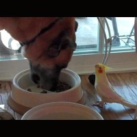 Bird Serenades Dog During His Dinner