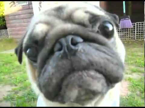 Funny Pug Look Into Your Eyes
