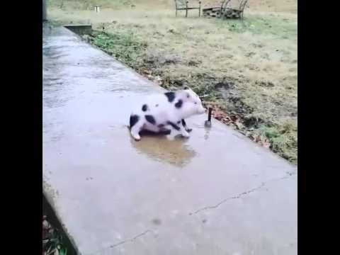 Cute Little Pig Slides on Frozen Sidewalk