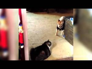 You Shall Not Pass, Dog Funny video of dogs afraid to walk past cats.