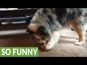 Cute Dog Opens Christmas Gift And Immediately Plays With It