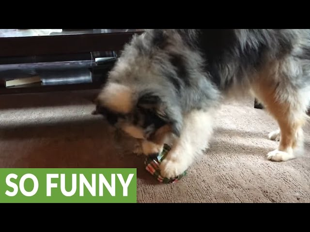 Dog Opens Christmas Gift And Immediately Plays With It