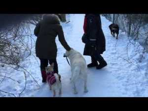 Labrador Walks Dachshund