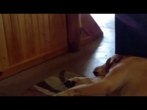 Labrador Has A Funny Snore Video