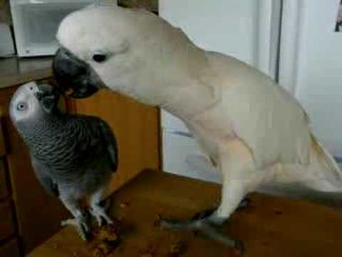 Cockatoo Feeds Parrot a Birdie Cookie