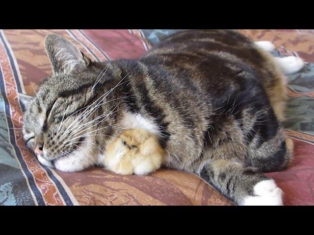 Chick Sleeps Under Cat's Chin