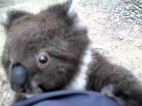 Cute Koala Climbs Up A Leg For A Cuddle