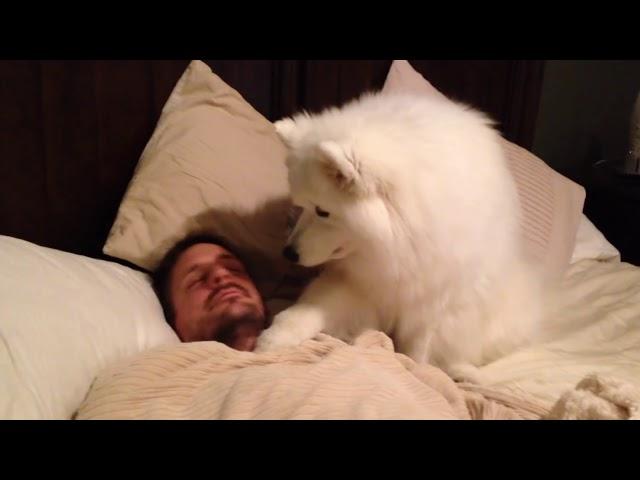 Samoyed Dog Wakes Dad Up