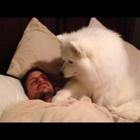 Samoyed Dog Wakes Dad Up