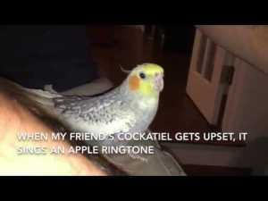 Funny Cockatiel Bird Sings iPhone Ringtone video