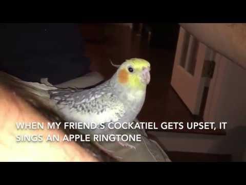 Cockatiel Sings Like An iPhone Ringtone
