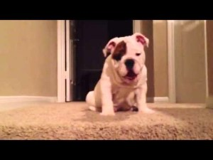 Cute Bulldog Puppy Attempts Epic First Journey Down Stairs video