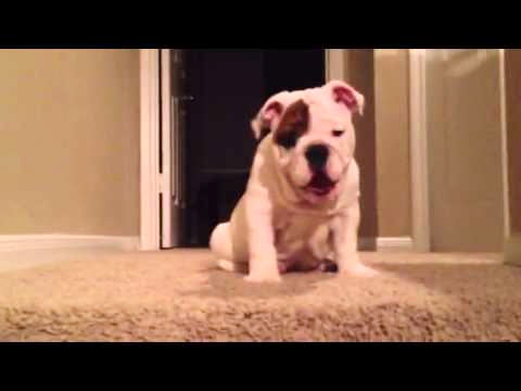Bulldog Puppy Attempts Epic First Journey Down the Stairs