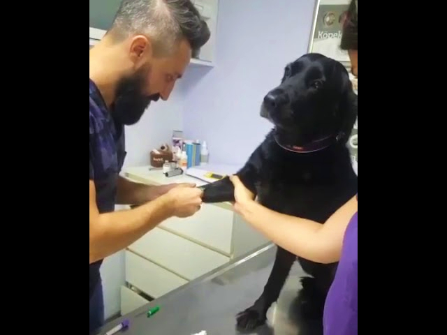 Dog Stays Calm While Getting a Shot at the Vet
