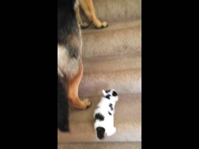 German Shepherd Taking Care of Kitten